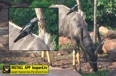 Do you know what type of bird is sitting on the back of this nyala? Find out! Do You Know What, Getting To Know You, What Type, Wildlife, Africa, Science, Horses, Bird, This Or That Questions