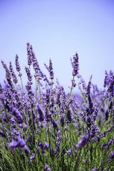 Lavanda y 8 hierbas con flores hermosas y de gran sabor Lavender Fields, Lavender Flowers, Flowers Nature, Purple Flowers, Wild Flowers, Beautiful Flowers, French Lavender Plant, Lavender Plants, Nature Nature
