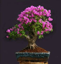 Arbol Bonsai.Google