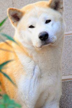 Akita Inu  | japanese dog.... He looks a little like a polar bear! So cute