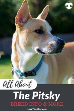 Siberian Husky Pitbull Mix: Pitsky Breed Information, Puppies & Husky Pitbull Mix, Siberian Husky Mix, Pitbull Terrier, Pitsky Puppy, Agility Training For Dogs, Nanny Dog, American Pitbull, Purebred Dogs, Zuko