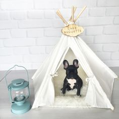 and a different frenchie in a different tent