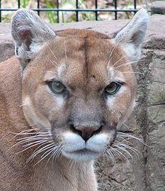 cougar animal | La cabeza del puma es redonda y sus orejas están levantadas.