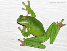 WILD TROPICAL QUEENSLAND - Too Beautiful, Unique & Precious to Lose...: Amphibians