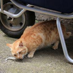 A marmalade cat chews on a dried fish on Mizuki Island #cat #Shikoku #Mizukijima #Seto_Inland_Sea