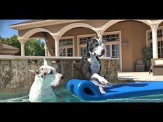 Great Danes Jump into the Pool and onto Floatie - YouTube