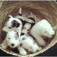 OMGoodness, Fox Terrier babies