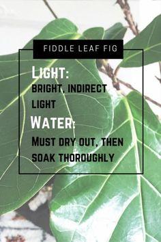 fiddle leaf fig // the botanical bungalow