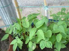 Il fagiolo si può coltivare anche sul balcone, oltre che in terra