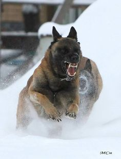 Malinois dashing through the snow