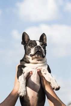 Happy Tails: Boots the Boston Terrier - Daily Dog Tag - Happy Tails: Boots the Boston Terrier - Puppy Pose, Cute Dogs And Puppies, Doggies, Dog Poses, Cute Dog Photos, Animal Photography, Photography Portraits, Dog Portraits, Dog Tags