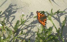 Schmetterling am Strand