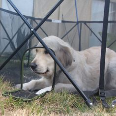 Our 70 pound dog, Raven wanted to try the Carlson Portable Pet Pen