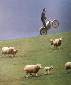 bike does wheelstand by sheep