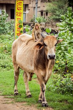 Sikar, Rajasthan. The monkey and the bull are best of friends. Hang out in the neighborhood all the time and even share food.