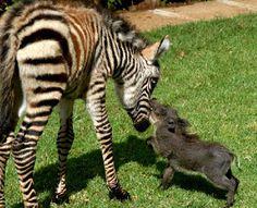 a baby zebra AND baby warthog. dwaahhh