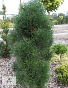 Pinus nigra 'Pyramidalis' 2