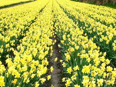 Daffodil field in Cornwall