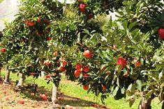 Árvores-frutíferas-de-pequeno-porte Mais