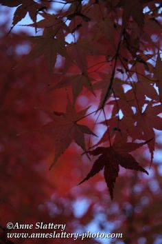 Fall colors of Japanese Maple (Acer palmatum) on UNM Main Campus in Albuquerque.  IMG_A_25069_full_web_large by The Bright Edge - Photography by Anne Slattery, via Flickr