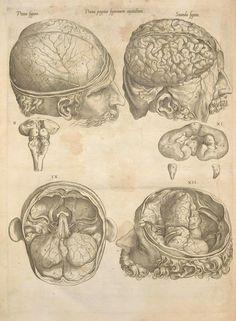 "1545 medical illustration of the human brain entitled ""Prima pagina figurarum capitalium"". Thomas Geminus"
