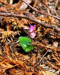 Calypso Orchid - March