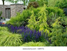 landscaping with deodar cedar - Google Search