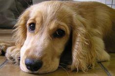 Jak naučit štěně snášet samotu?