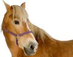 paard haflinger - Google zoeken