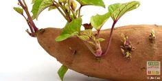 Moutarde blanche herbes et plantes sant pinterest moutarde - Quand planter les patates ...