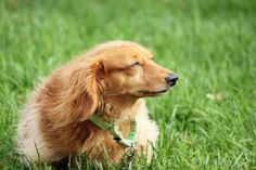 Bella is an adoptable Dachshund Dog in Methuen, MA. I am Bella, a tan long haired dachshund who is here at Nevins with my lifelong friend Bono. We are looking for a loving new family that will adopt u...