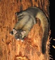 YELLOW BELLIED GLIDER....aka the fluffy glider....a gliding possum found in native eucalypt forests in eastern Australia....an estimated 6,000 exist....measures 11.5 to 12 inches long with an 18-19 inch tail