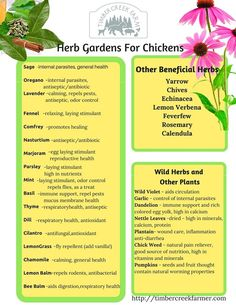 My Top Herb Choices For Chicken Care If I could only grow a few herbs I would choose Mint, Oregano, Plants For Chickens, Raising Backyard Chickens, Keeping Chickens, Pet Chickens, Urban Chickens, Treats For Chickens, Winter Chickens, What To Feed Chickens, Chicken Coup