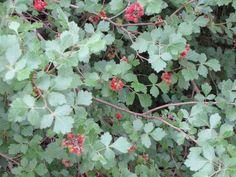 Fragrant Sumac | Rhus aromatica | trees-shrubs-vines