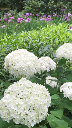 White hydrangea and Iris at Toukeiji