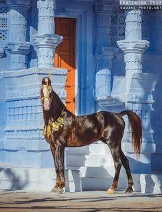 stallion PRABHAT (Kanaiya - Gangour) ©Ekaterina Druz