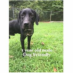 ***CRITICAL! 9/9/16 PUPPY ALERT!!! Here's a 1 year old Labrador Mix, male puppy who is very friendly, stray, had on collar. Elberton GA.