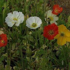 Siberian poppy  Papaver croceum  Papaveraceae, poppy plants.  Sheep delicate colorful flowers that are well into the autumn.