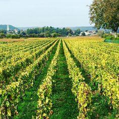 Petite escapade murisaltienne... #Meursault #Vigne #Wineyard #Burgundy