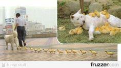 animal, chicken, hund, kücken, dog