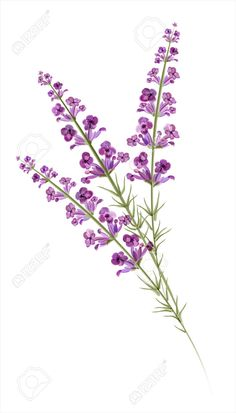 Illustration of Lavender Watercolor drawing Vector vector art, clipart and stock vectors.Illustration about Lavender. Painting & Drawing, Watercolor Drawing, Watercolor Flowers, Leg Tattoos, Body Art Tattoos, Sleeve Tattoos, Pansy Tattoo, Flower Tattoos, Heather Flower