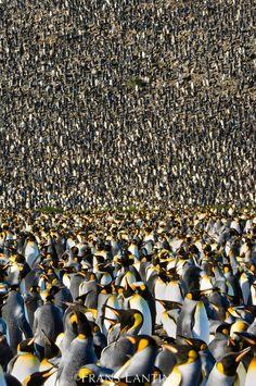 King penguin colony, Aptenodytes patagonicus, South Georgia Island