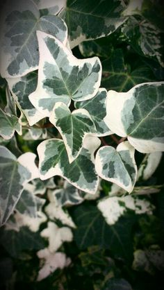 Ivy, the evergreen. Colors in winter. Mobile Photography, Evergreen, Ivy, Plant Leaves, Winter, Colors, Plants, Winter Time, Colour