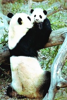 Pandas are shy; they don't venture into areas where people live. This restricts pandas to very limited areas. As people continue to farm, log, and develop land higher and higher up the mountain slopes, the pandas' habitat continues to shrink Animals And Pets, Baby Animals, Funny Animals, Cute Animals, Baby Pandas, Wild Animals, Giant Pandas, Funny Dogs, Panda Love