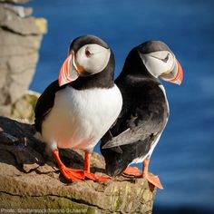 Puffins Bird, Trophy Hunting, Animal Rescue Site, Puppy Mills, Sea Birds, Take Action, Animal Rights, Rainforest Site, Ocean