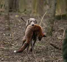 Weimaraner. The Fox is dead.