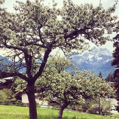 Spring blossoms and Dents du Midi at Aiglon College campus College Campus, Swiss Alps, Spring Blossom, Blossoms, Scenery, Seasons, Alps Switzerland, Flowers, Landscape