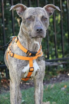 Griffin - Meet Griffin! He's a 1 to 2 year old pit weighing in at about 38 pounds with a really cool tigger-ific coat. Griffin is super friendly, walks great on his leash (he is a little strong at first with excitement, but settles nicely with the pace that is set). He knows basic commands of sit and down and takes treats ever so gently from your fingers. He is also very SMART and would love to take more classes. He is awesome in the house, doesn't mind his crate time,