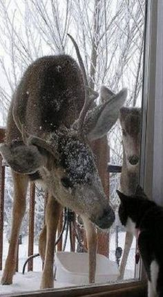 .Wildlife: Young deer buck meets the house Cat.                  t