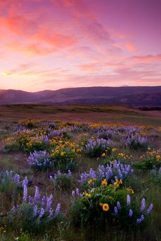 Balsamroot and Lupines (Columbia River Gorge) The Effective Pictures We Offer You About Nature Photography amazing A quality picture can Aesthetic Backgrounds, Aesthetic Iphone Wallpaper, Nature Wallpaper, Aesthetic Wallpapers, Camera Wallpaper, Animal Wallpaper, Nature Aesthetic, Flower Aesthetic, Spring Aesthetic